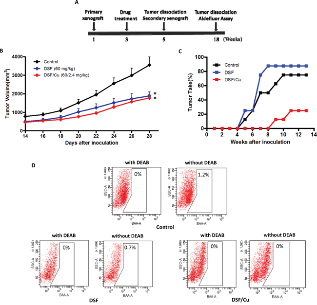 Effects of DSF and DSF/Cu treatment in vivo and tumor growth on secondary xenografts.