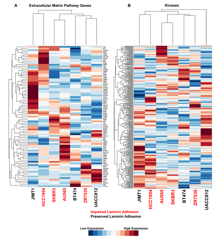 Impaired laminin adhesion cell lines do not cluster based on expression of specific ECM genes or kinases.