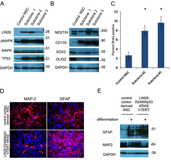 Transduction of human neural stem cells with
