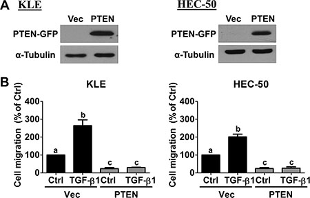 Overexpression of PTEN abolishes TGF-β1-stimulated cell migration.