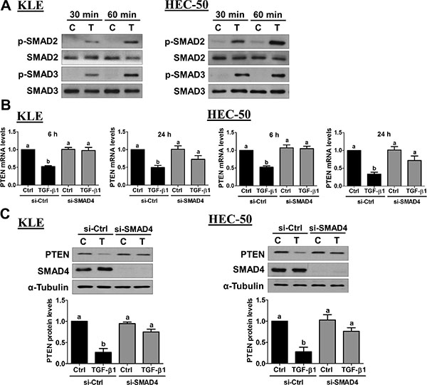 Activation of SMAD signaling is required for the down-regulation of PTEN by TGF-β1.