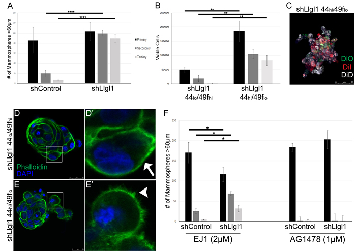 Loss of Llgl1 induces EGF-dependent mammosphere formation.