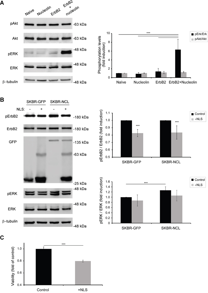 Binding of nucleolin specifically activates ErbB2 and the MAPK pathway.