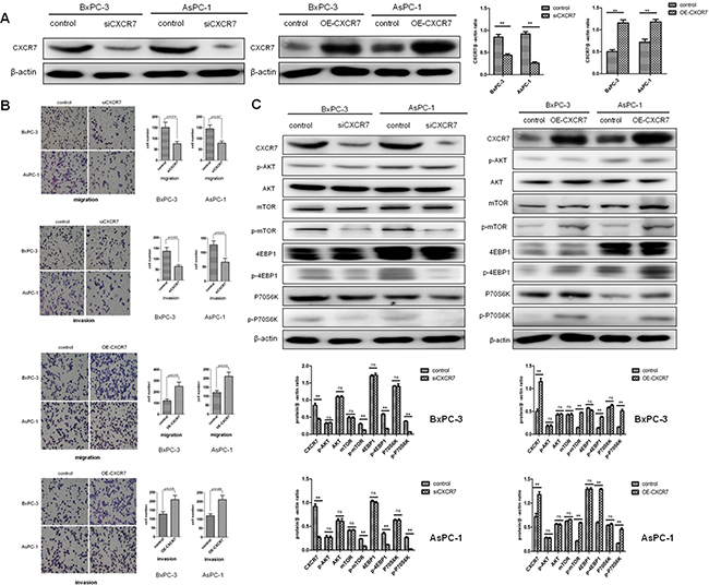 CXCR7 promotes migration and invasion of PC cells, involving activation of mTOR signaling pathway.