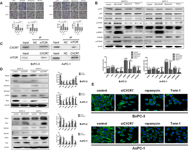 Effects of mTOR signaling pathway inhibition on CXCR7-mediated migration and invasion of PC cells and relative molecular mechanisms.