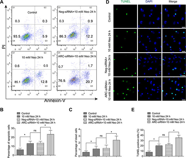 The percentages of both dead and apoptotic HEI-OC-1 cells increased after neomycin injury when ARC was inhibited by siRNA.
