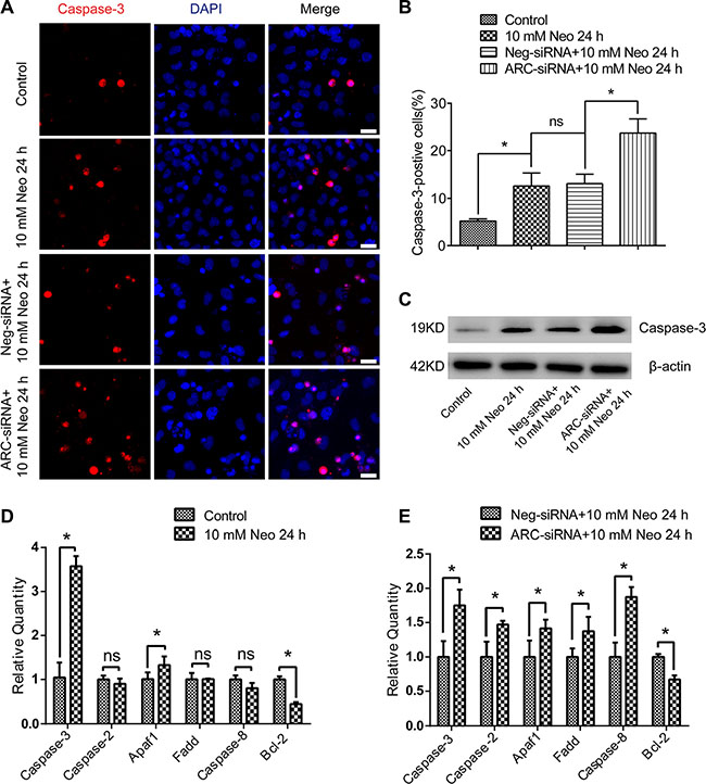 ARC inhibition increased the expression of proapoptotic factors in HEI-OC-1 cells after neomycin injury.