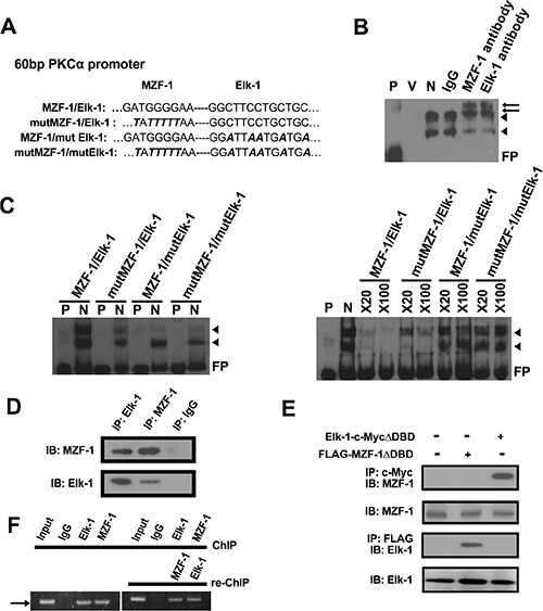 Elk-1/MZF-1 complex binds to the promoter region of PKCα to upregulate its protein expression.