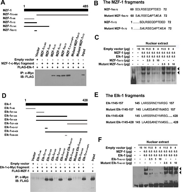 Identification of MZF-1 and Elk-1 interacting domains.
