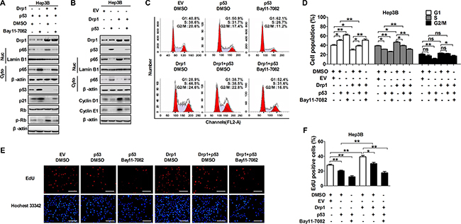 The crosstalk of p53 and NF-κB pathways regulated by Drp1-mediated mitochondrial fission was essential for cell cycle progression.