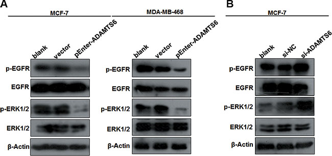 The EGFR/ERK signaling pathway is involved in ADAMTS6-mediated BC.