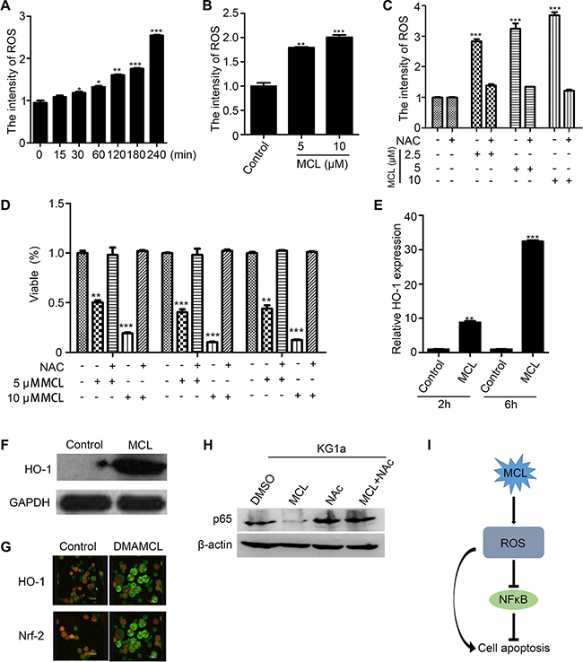 Generation of intracellular ROS promotes MCL-induced apoptosis.