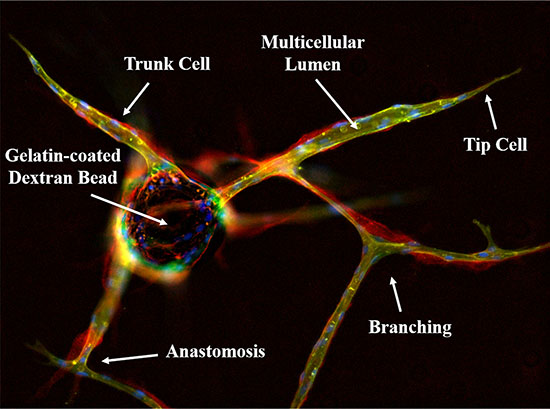 Immunofluorescent characterization of the in vitro 3D fibrin matrix assay used to evaluate angiogenesis.