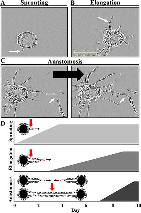 Defining the critical stages and kinetics of angiogenesis in vitro.