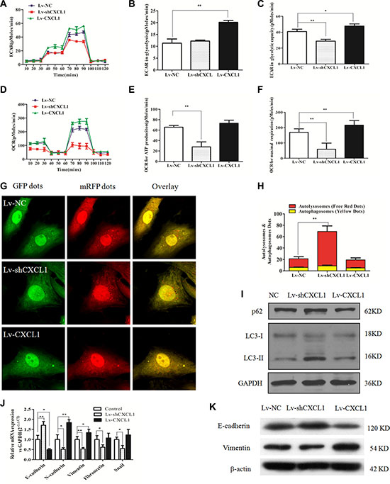 The effect of CXCL1 on mitochondrial respiration, autophagy and epithelial-mesenchymal transition (EMT).