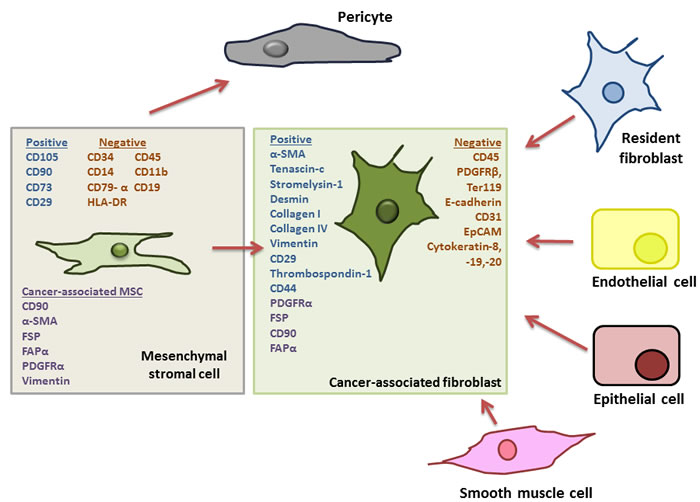 Outline of potential progenitor cells for cancer associated fibroblasts in the tumour microenvironment.