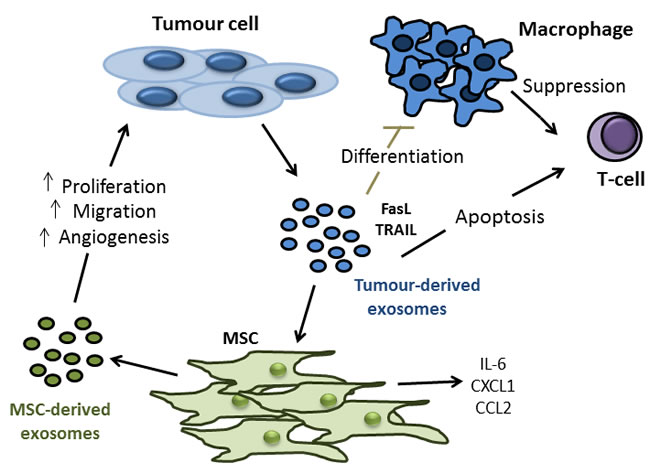 Tumour- and MSC-derived exosomes as potential mediators of colon tumour cell proliferation, migration, angiogenesis and modulation of anti-tumour immune response.