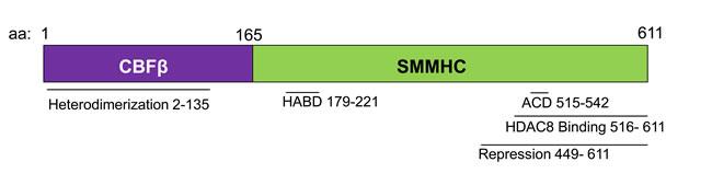 Schematic representation of the CBFβ-SMMHC fusion protein.