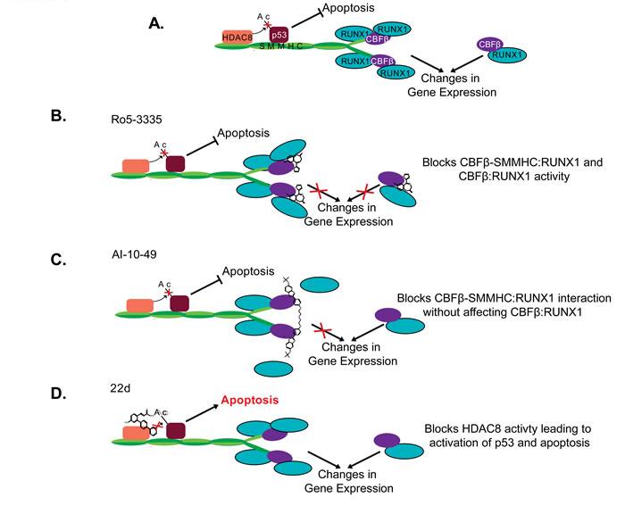 Proposed mechanism of CBFβ-SMMHC inhibitors.