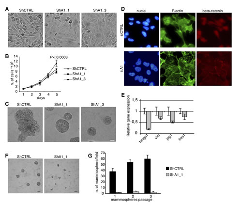 HMGA1 Depletion Induces Phenotypic Changes in the MDA-MB-231 Breast Cancer Cell Line.