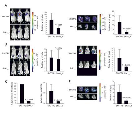 HMGA1 Depletion Suppresses Metastasis in a Mouse Xenograft Model.