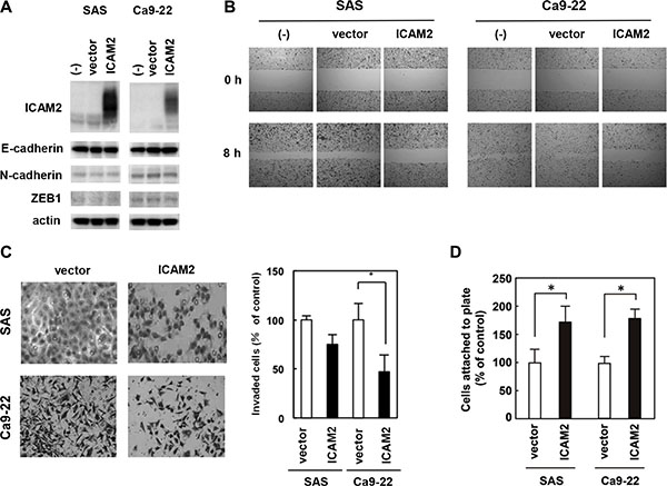 Overexpression of ICAM2 inhibits cancer cell invasion and migration, and promotes cell adhesion.