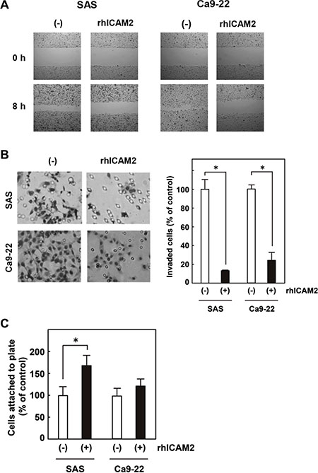 Recombinant human ICAM2 (rhICAM2) alters cancer cell migration, invasion, and adhesion.
