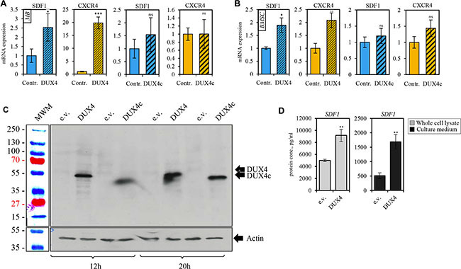 DUX4-transfected cells overexpress SDF1 and CXCR4 genes.