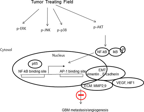 The proposed signaling pathways for TTF-inhibited invasion, migration and angiogenesis in GBM cells.