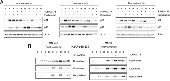 Effect of Chk1 inhibition on accumulation of p53 and p21 proteins A. and appearance of γ-H2AX B.