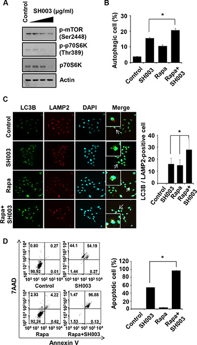 Rapamycin enhances SH003-induced autophagy-mediated apoptosis.