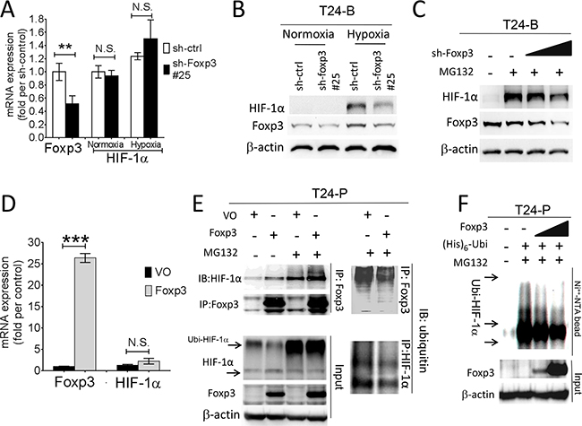 Foxp3 expression decreased ubiquitin-proteasomal degradation of HIF-1α protein.
