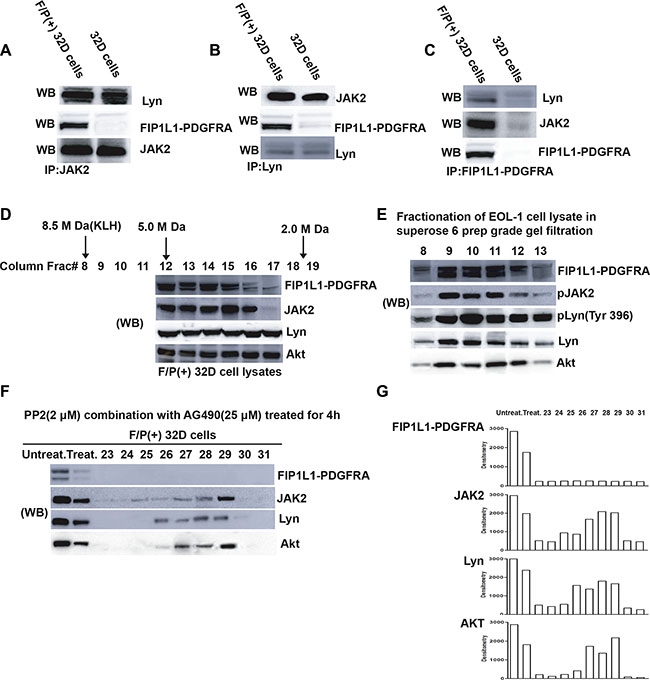 Detection of a large molecular weight signaling network complex comprised FIP1L1-PDGFRA, Jak2, Lyn and other proteins (e.g. Akt) in F/P-expressing cells.