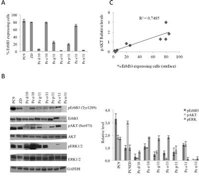 ErbB3 expression correlates with enhanced AKT signaling in primary and stable lung cancer cells.