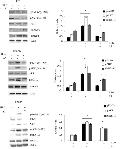 A3 inhibits HRG-induced signaling.