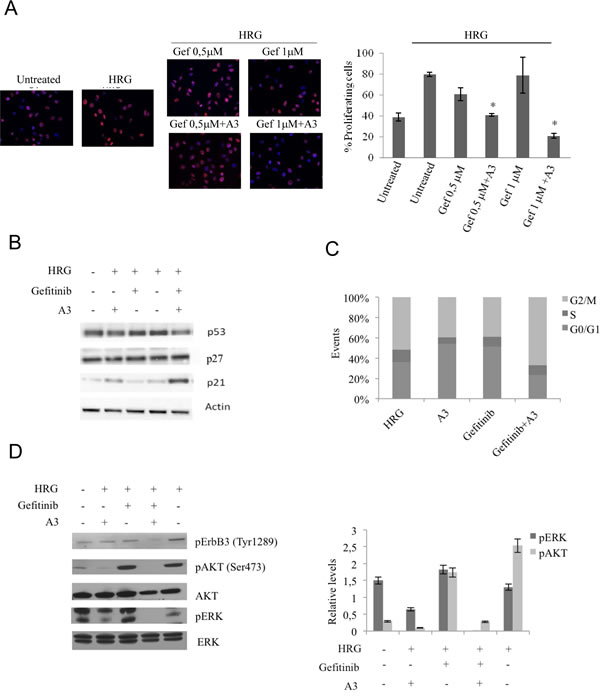 The combination A3 plus gefitinib reduces the proliferation, impairs cell cycle and reduces pAKT and pERK signaling.