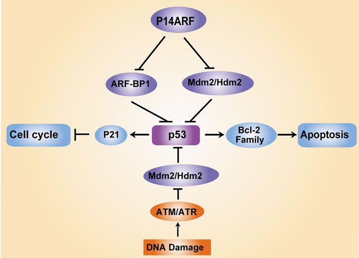Regulation of p53 and its key regulators in response to DNA damage.