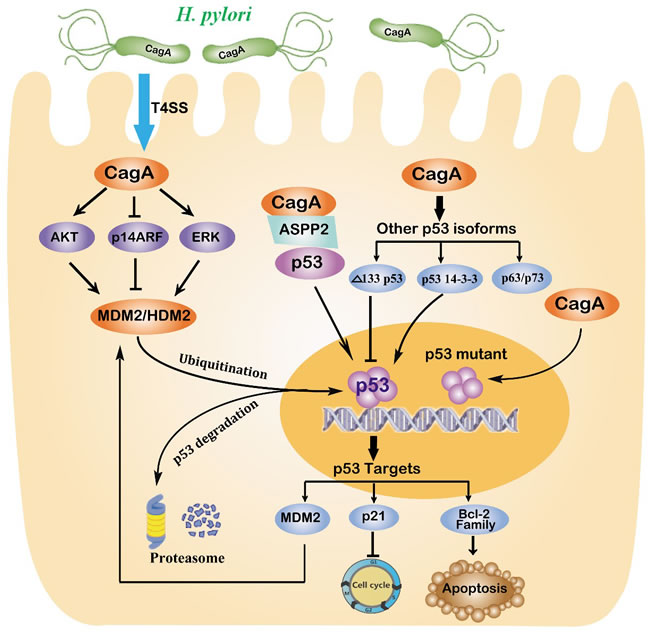 Regulation of p53 in gastric carcinogenesis induced by