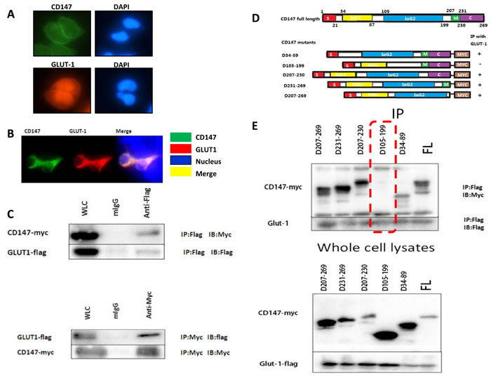 The co-expression of CD147 and GLUT-1 was observed in A375 cells