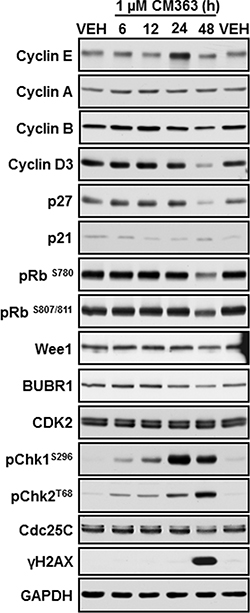 CM363 modulates proteins involved in cell cycle regulation.
