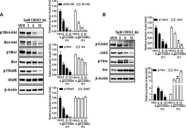 CM363 inhibits constitutive Bcrl-Abl-Stat5 signaling pathway.