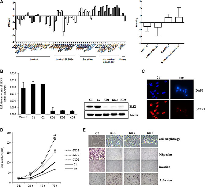 ELK3 regulates migration and invasion of MDA-MB-231 cells in vitro.
