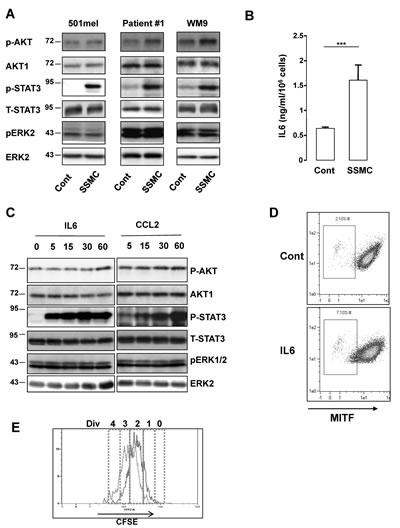 Activation of the STAT3 signaling pathway by the secretome of senescent melanoma cells.