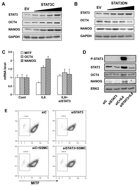 STAT3 activation mediates the acquisition of the stemness phenotype in melanoma cells.