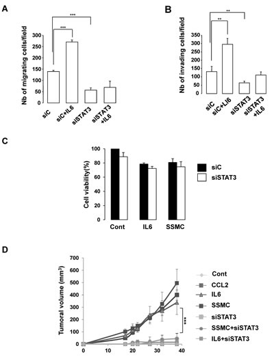 STAT3 activation is required for the acquisition of the tumorigenic phenotype of melanoma cells.