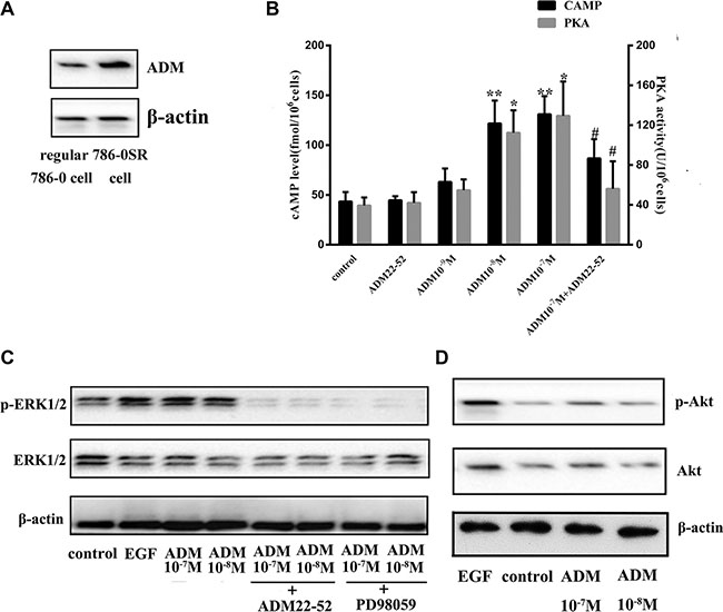 The ERK/MAPK pathway was induced by ADM in 786-0 cells.