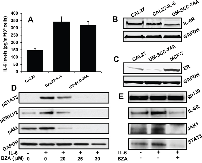 Bazedoxifene inhibits IL-6 signaling by blocking IL-6R and gp130 interactions.