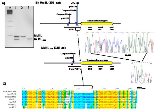 Cloning of a novel mRNA variant of Mcl1L.