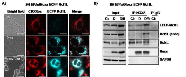 Mcl1L, but not Mcl1LJAM, inactivates Noxa.