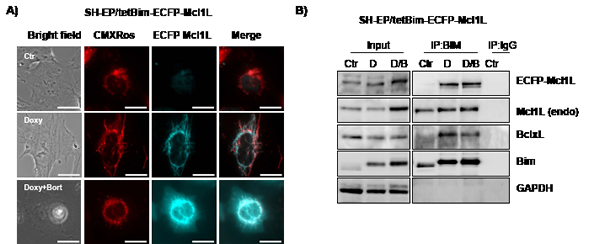 Mcl1LJAM interacts preferentially with Bim.